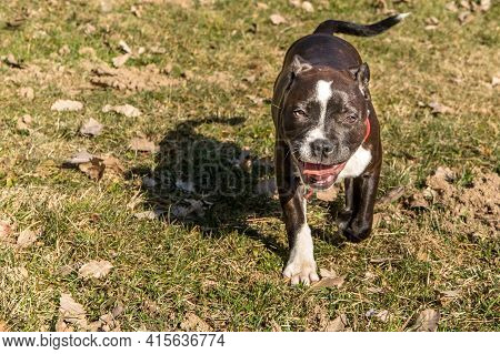 Friendly Dog Pitbull Terrier Puppy. Little Puppy American Pit Bull Terrier On Meadow.
