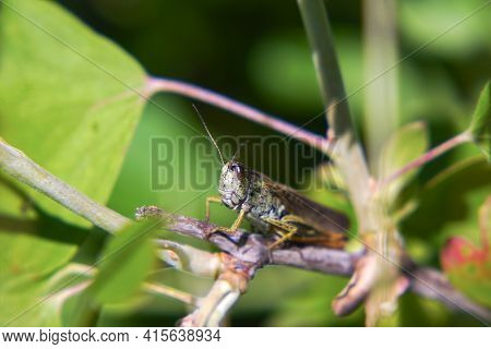 Agricultural Pest Grasshopper Or Locust Sitting On The Grass