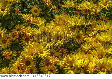 Background Of Autumn Flowers Of Bright Yellow Asters With An Orange Center Shines In The Gardens Und
