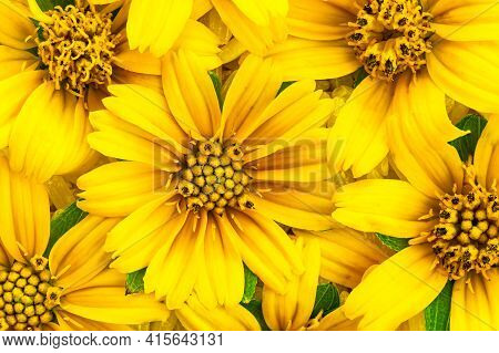 Yellow Collection. Top View Of Blooming Bright Yellow Flowers, Climbing Wedelia, Creeping Daisy, Sin