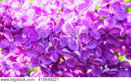 Garden lilac spring flowers bunch violet art design background. Blooming violet lilac flowers in a garden,garden lilac,garden blooming lilac,garden lilac in blossom.Beautiful garden lilac flowers
