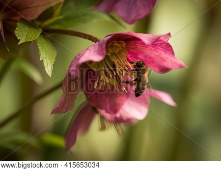 A Closeup Of Hellebore With A Bee In Spring 2021 In Jena