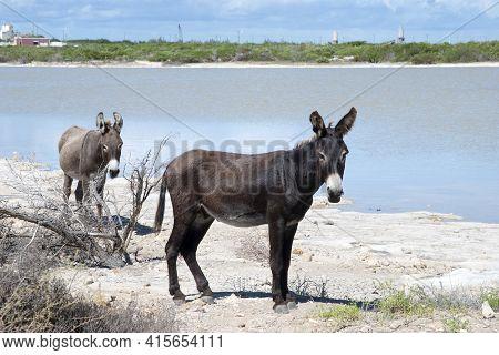 The Couple Of Of Wild Donkey Walking Around Lagoon On Grand Turks Island (turks And Caicos Islands).