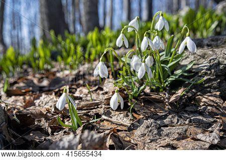 Detail Photo Of White Snowdrops, Klak Hill, Slovak Republic. Spring Time Scene.