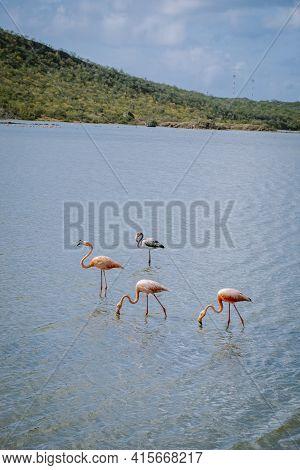 Flamingos Views Around The Caribbean Island Of Curacao, Flamingos At Jan Kok Salt Pan On The Caribbe