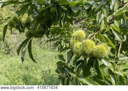 Edible Chestnut (castanea Sativa) Branches With Fruits Grow And Ripen In The Forest On A Summer, Sun