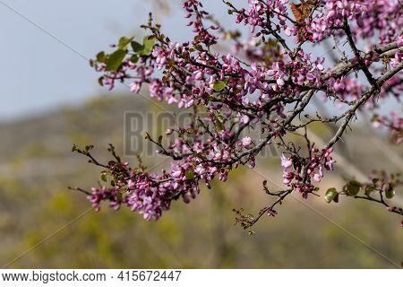 A Tree Branches (cercis Siliquastrum) With Pink Flowers Blooming Against A Blue Sky And Mountains In