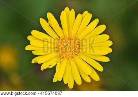 Beautiful Closeup View Of Single Spring Yellow Oriental Leopard's-bane (doronicum Orientale) Flower