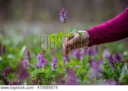 Woman Hand Picking Up Or Harvesting Very Rare Flowers In The National Park Or Botanical Garden, Envi