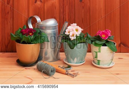 Gardening Tools And Colorful Primula Flowers On Wooden Table. Selective Focus. Concept Of Spring Gar