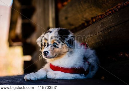 Cute Australian Shepherd puppy on mountains adventure