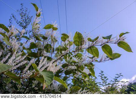 A Flowering Ornamental Shrub With White Flowers. Itea Virginica Shrub In Autumn.
