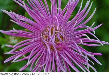 Aster, A Popular Fall Flower, Has Light Symbolism. The Name Of The Flower Aster Means A Star.