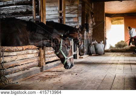 In The Wooden Stable, The Horses Stand In Their Stalls And Wait To Be Fed