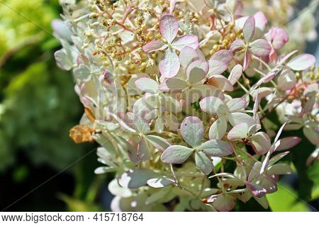 A Pinacle Spike Of White And Pink Tipped Hydrangeas