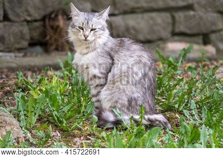 A Beautiful Fluffy Gray Cat Sits On Spring Lawn In The Sunset Light. Stray Cat Gray Color On The Bac