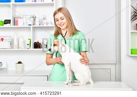Veterinarian Listens A Stethoscope To A Parson Russell Terrier Dog