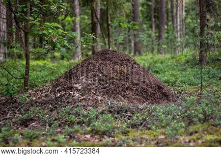 Ant House In The Forest. An Anthill Made From Numerous Dry Pine Needles.