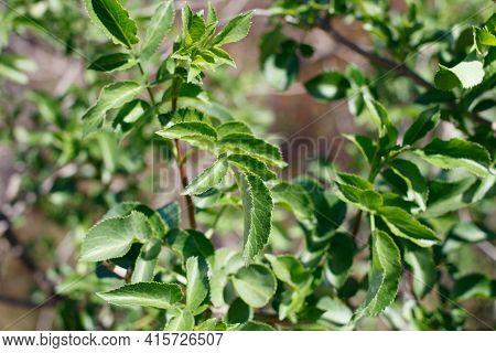 Imparipinnate Opposite Distally Acute Proximally Rounded Conduplicate Serrate Leaves Of Blue Elder,