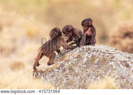 Baby Of Endemic Animal Gelada Monkey On Rock, Endangered Theropithecus Gelada, In Ethiopian Natural