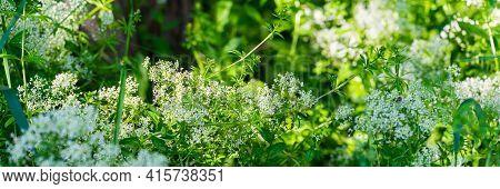Flower Of Shepherd's Purse, Capsella Bursa-pastoris Flowers.