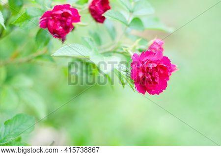 Macro Shot Of Blooming Rose Bush Over Blurred Background
