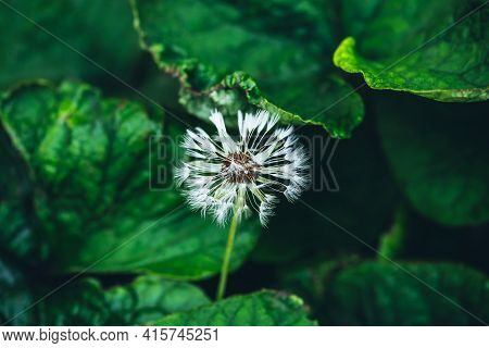 Vivid Minimalist Nature Background With Small Fragile Dandelion Blooming Among Wet Green Leaves. Bea