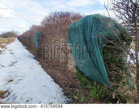 Coniferous Trees Are Protected From The Sun By A Shading Net In Winter. Plant Protection From Burnou
