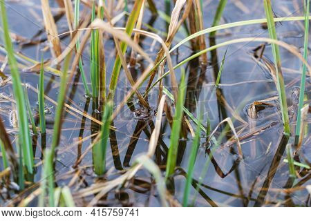 A Frog On The Surface Of A Pond In Its Natural Habitat. Common Frog - Rana Arvalis Colored Brown. Th