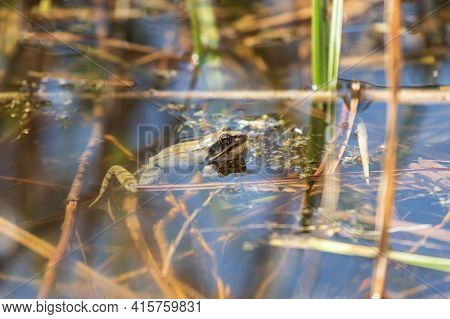 A Large Green Toad Frog In Its Natural Habitat. An Amphibian In And Around The Water Is A Reed.