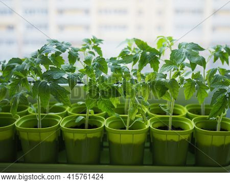 The Spring Planting. Tomato Seedlings, Grown From Seeds In Boxes At Home On The Windowsill. The Plan