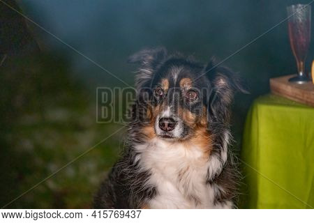 Tricolor Australian Shepherd Dog Sits Next To A Campfire And Table With Food And Drink. At The Camps