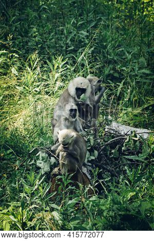 Hanuman Monkeys Sits With The Whole Family By A Tree, Trying To Get Food From It. Semnopithecus Ente