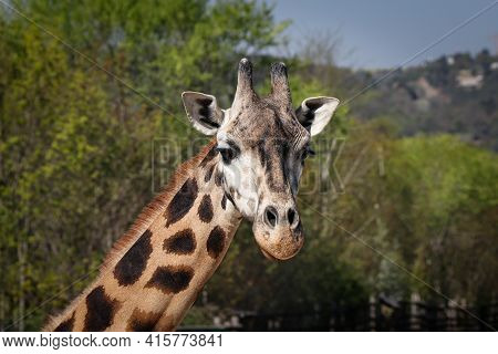 Portrait Of A Specific Face Of A Polka Dot Animal With Small Horns, Giraffa Camelopardalis Rothschil