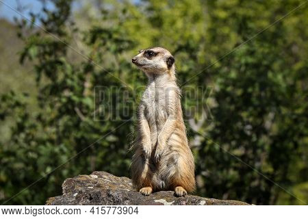 Meerkat Stands On A High Rock, Watching The Danger. Humorous Expression Of A Small Mammal Living In