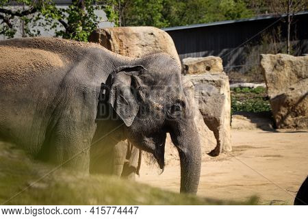 Stout Elephas Maximus Eats A Piece Of Straw And Maintains Its Slender Line. Fun Expressions Asian El