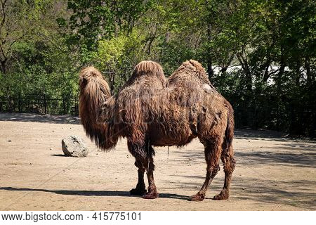 Bactrian Camels Family Walks Around Their Paddock And Thinks About Various Activities. Domestic Bact