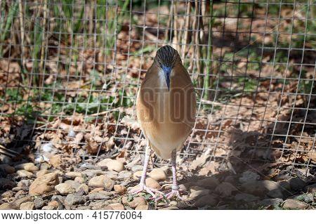 Animal Portrait Of A Light Brown Bird With Black Stripes On Its Head - Squacco Heron. Ardeola Ralloi