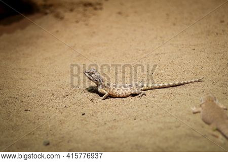 Rapelus Sanguinolentus Stands Motionless On The Sandy Ground, Looking Back Curiously, Wondering What