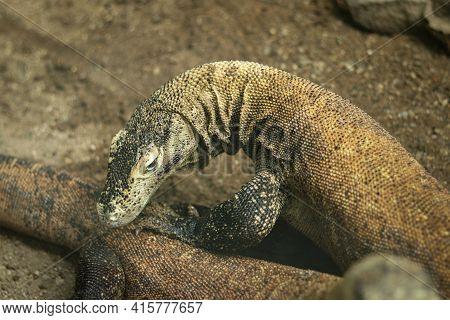 Beautiful Komodo Dragon Lizard In All Its Beauty. The Head Of Varanus Komodoensis, Which Is Looking
