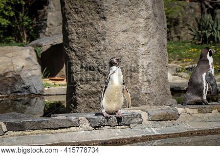 Male Humboldt Penguin Stands On The Edge Of A Rock And Is Considering Whether To Jump Into The Water