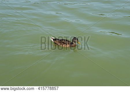 Male Mallard Swims Proudly In A Wild River And Drifts By The Current. Anas Platyrhynchos Enjoys Sail
