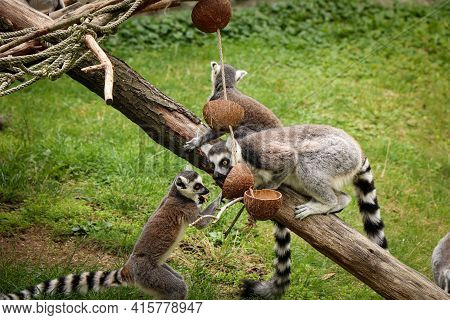 Group Of Monkey Bachelors Are Arguing And Fighting For The Best Piece Of Food. Ring-tailed Lemur Fig