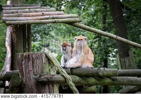 Two Males Hussar Monkey Herds Sitting On A Tall Branch And Looking At Their Relatives. Erythrocebus