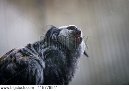 Angry Black-tufted Marmoset Shouts His Dissatisfaction At The Whole World. Callithrix Penicillata Si
