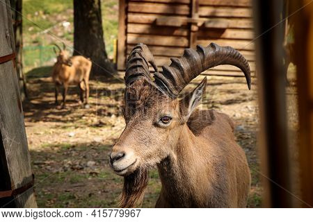 Smiling Expression Of A Brown Male Domestic Goat. Satisfied Animal Face Capra Aegagrus Hircus On A N