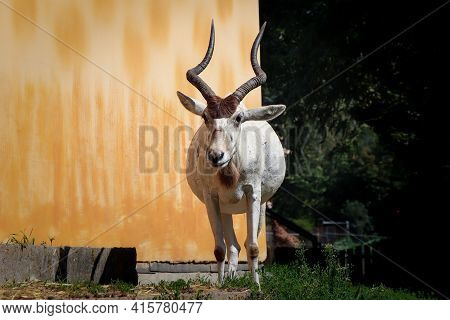 White-black Domestic Goat With Big Horns Stands On A Tree And Poses For The Photographer. Pregnant F