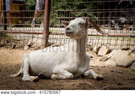 White Senior Female Domestic Goat Resting On The Ground And Looking At Her Relatives With Her Head.