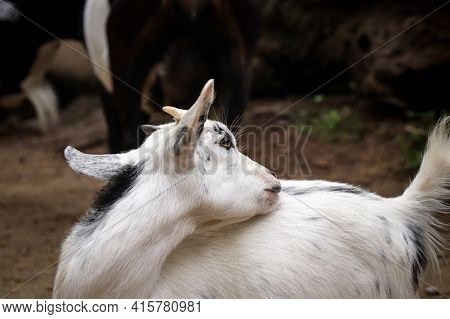 Fun Expression Of A Domestic Goat Trying Her Tongue To Clean Her Fur Coat On The Left Side Of Her Bo