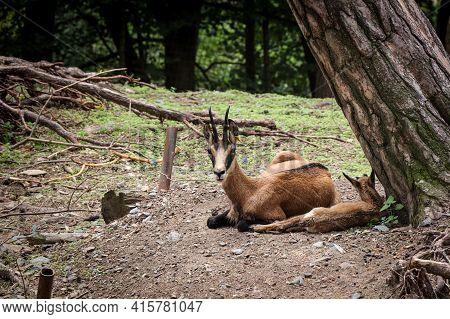 Deserved Rest By A Tree In The Steppe Of The East African Oryx. Oryx Beisa A Mammal Species With Str
